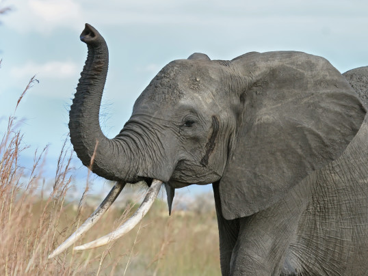 GOVERNOR JERRY BROWN SIGNS IVORY BAN IN CALIFORNIA