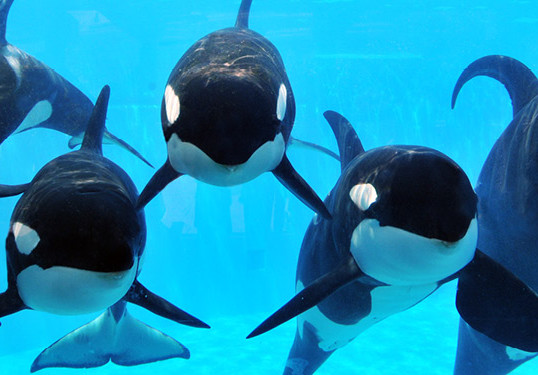 SEAWORLD TO END ORCA BREEDING PROGRAM