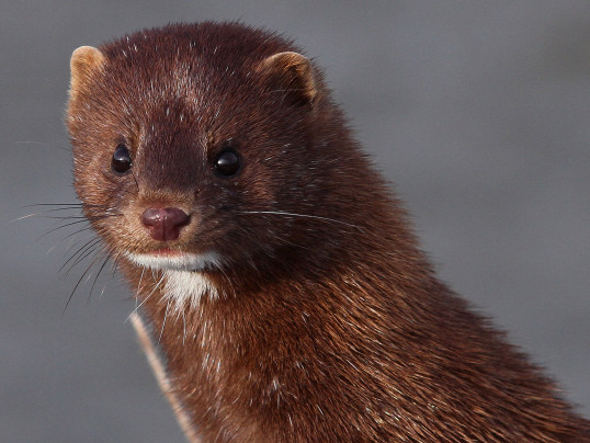 A mink in the wild