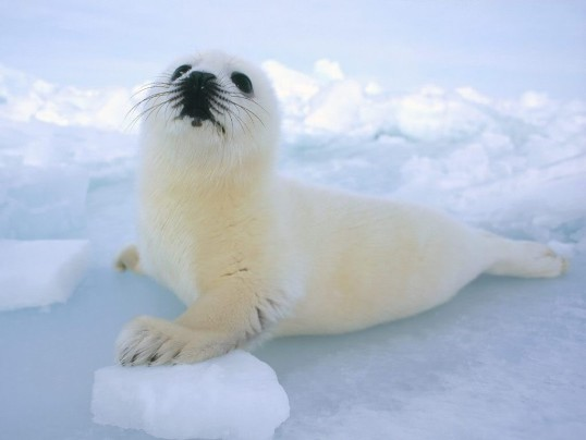 URGE CANADIAN PM JUSTIN TRUDEAU TO END SEAL HUNT