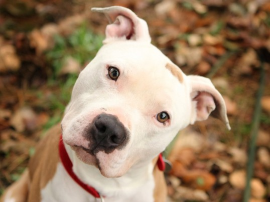 SAVE MONTREAL'S PIT BULLS