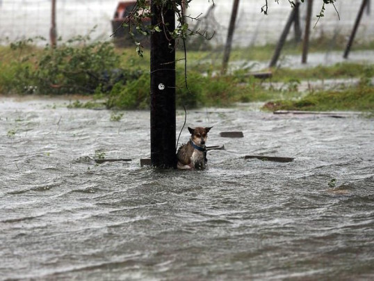 hurricane harvey dog