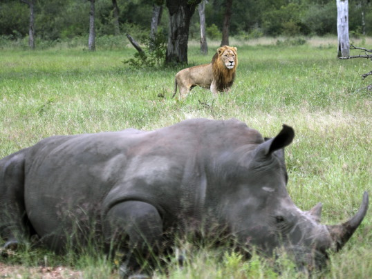 LIONS KILL SUSPECTED RHINO POACHERS