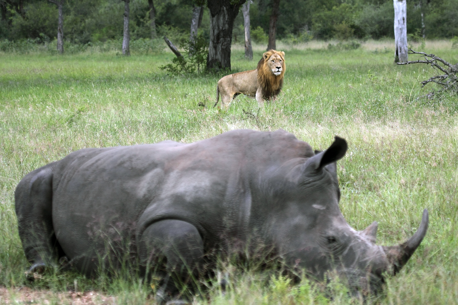 rhino and lion