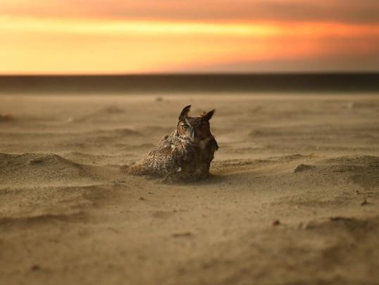 owl on the beach