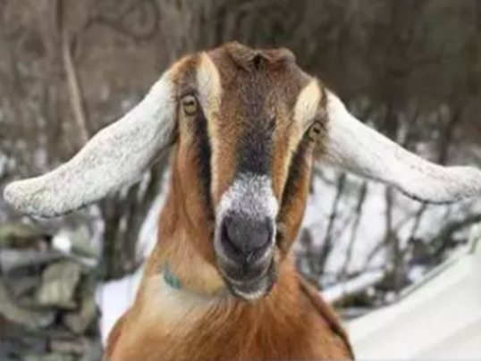 FAIR HAVEN ELECTS A GOAT AS MAYOR