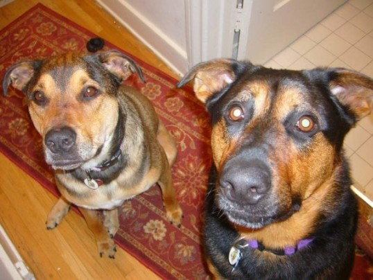 Dallas and Tex Manning, my two babies who both passed away from canine cancer