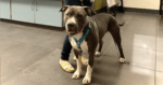 PIT BULL BAN LIFTED IN DENVER + AURORA, COLORADO